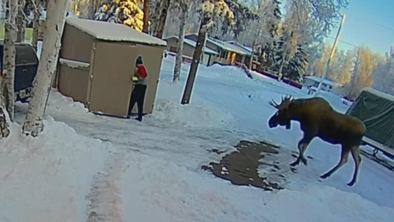 Moose traps Alaska man inside shed while he frantically calls wife, doorbell camera captures encounter