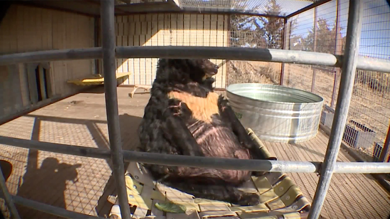 Westlake Legal Group Obese-Bear-KDVR 'Obese' bear removed from Pennsylvania club after living in poor conditions for 'possibly decades': report Paulina Dedaj fox-news/us/us-regions/west/colorado fox-news/us/us-regions/northeast/pennsylvania fox-news/science/wild-nature fox news fnc/us fnc df27602b-ff25-5d71-8918-86b2e6f9695b article