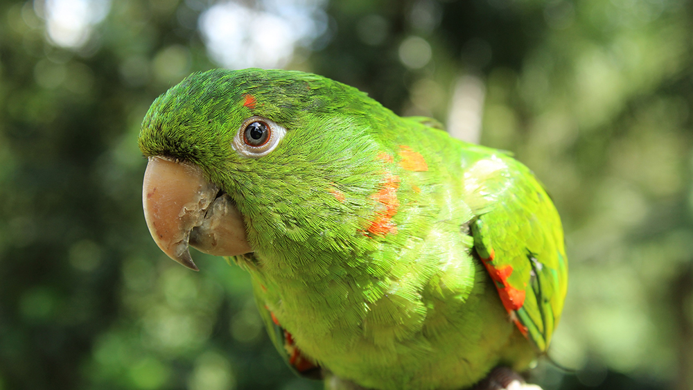 Westlake Legal Group Parrot-iStock Florida cops investigate after neighbor mistakes parrot for woman screaming for help Gerren Keith Gaynor fox-news/us/us-regions/southeast/florida fox-news/science/wild-nature/birds fox-news/lifestyle/pets fox news fnc/lifestyle fnc article 185ef930-1d4d-516a-bd0c-c9d7d8da4cc9