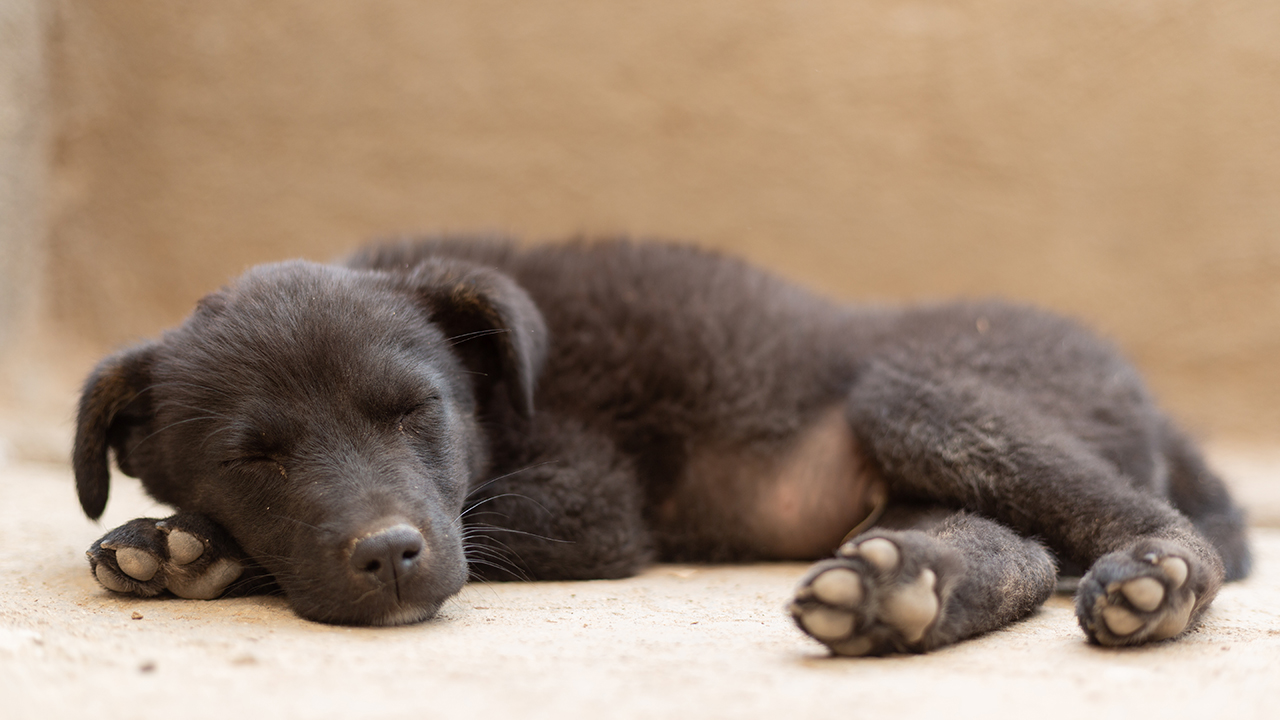 Westlake Legal Group Puppy-Sleeping-iStock Puppy store investigated after 'concerning' video suggests puppies were drugged Gerren Keith Gaynor fox-news/us/us-regions/west/utah fox-news/lifestyle/pets fox news fnc/lifestyle fnc article 83f50c40-39e1-5ae4-800b-880c689a63a9