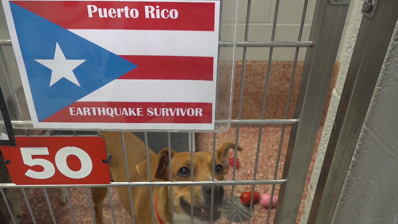 Westlake Legal Group eq-survivor Rescued pets from earthquake-ravaged Puerto Rico end up at East Coast shelters Katie Byrne fox-news/us/us-regions/us-puerto-rico fox-news/us/us-regions/southeast/florida fox-news/us/us-regions/northeast/pennsylvania fox-news/us/us-regions/northeast/new-york fox-news/us/us-regions/northeast/new-jersey fox-news/us/us-regions/northeast/delaware fox-news/entertainment/genres/pets fox news fnc/us fnc article 57eea7d2-7c79-5703-916f-f80099d7787d