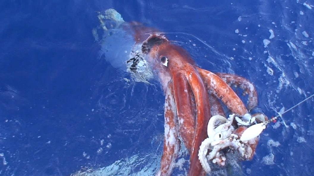 Scientists unlock secrets about mysterious giant squid