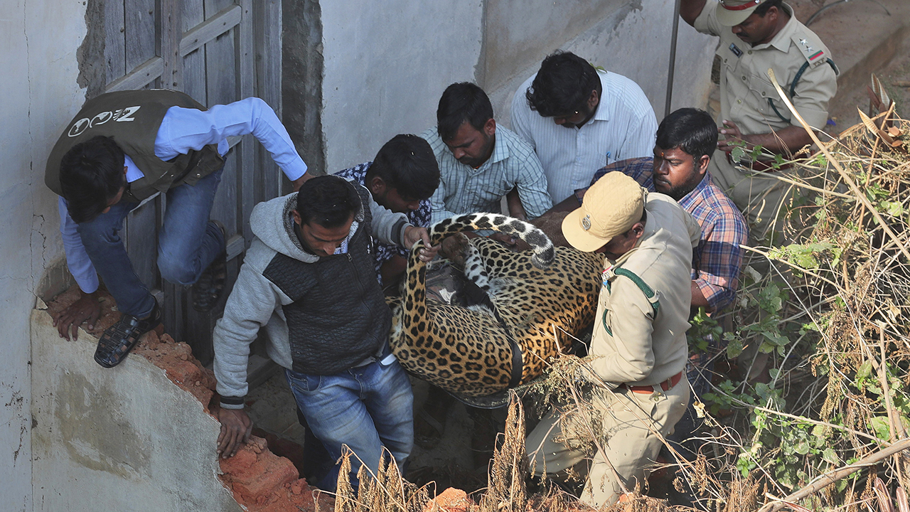 Leopard captured in India after running into house, triggering local frenzy