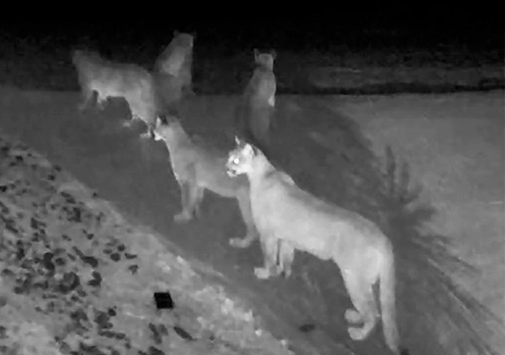 5 kalifornische Berglöwen auf video festgehalten außerhalb des Hauses in Seltenheit für einsame Kreaturen