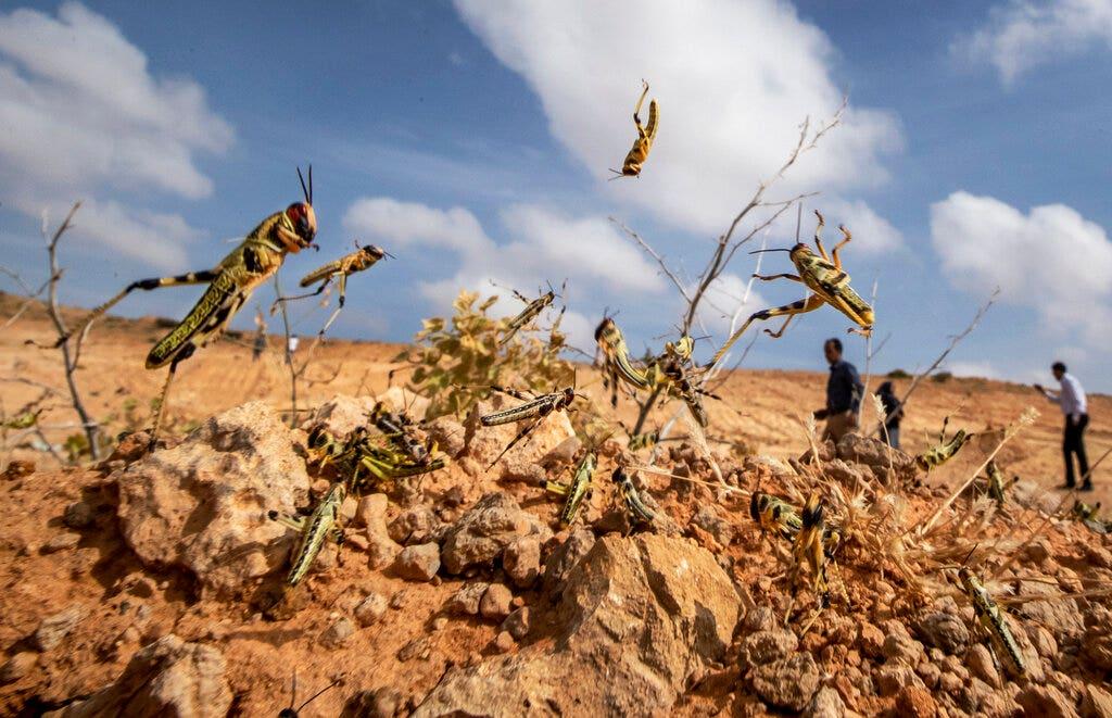Locust outbreak devastating East Africa hits South Sudan - fox