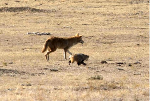 Adorable video shows coyote and badger playing, possibly hunting together in California