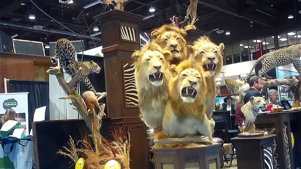 Nevada trophy hunting convention still includes trips to shoot captive lions, undercover video shows