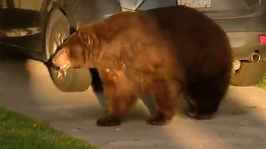 Bear on the loose near California school, curious passersby snap pictures