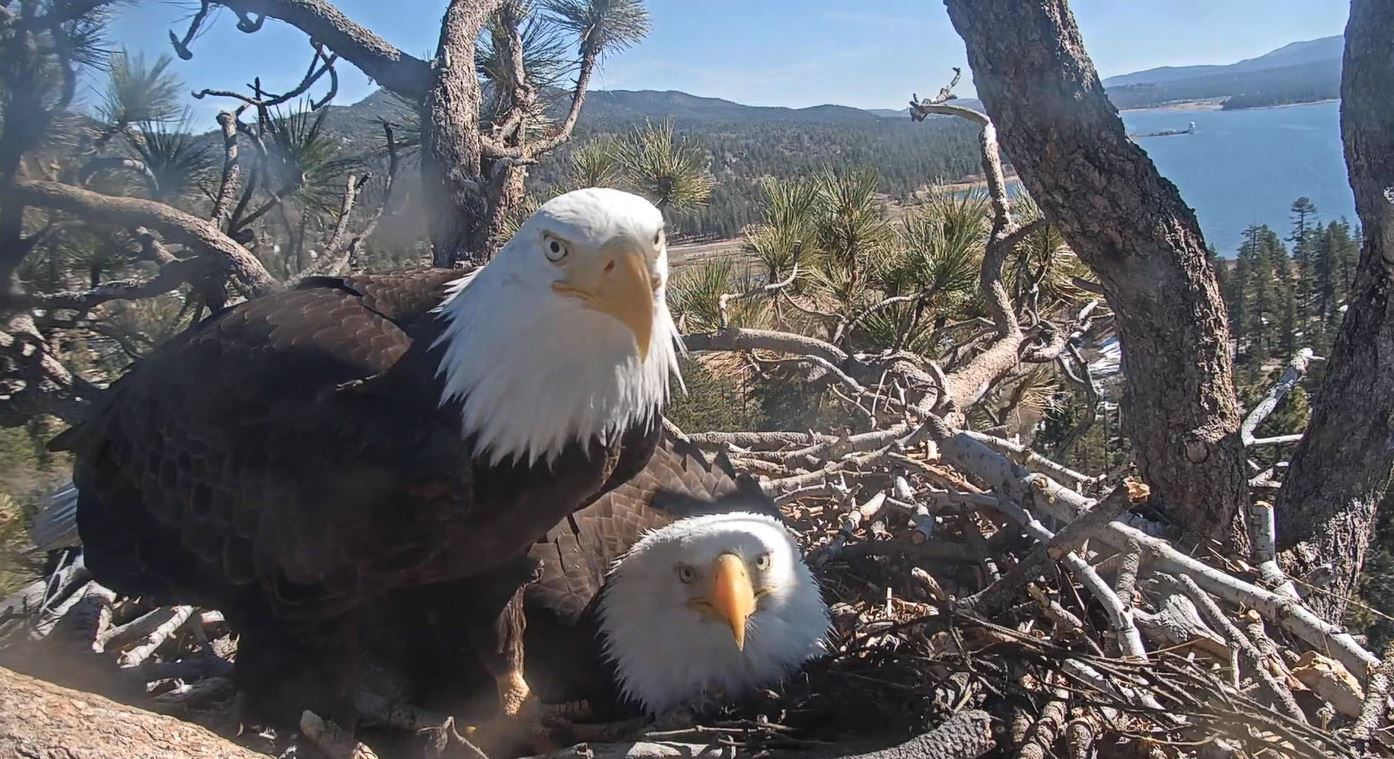 Eggs of 2 California bald eagles likely won't hatch, US Forest Service says