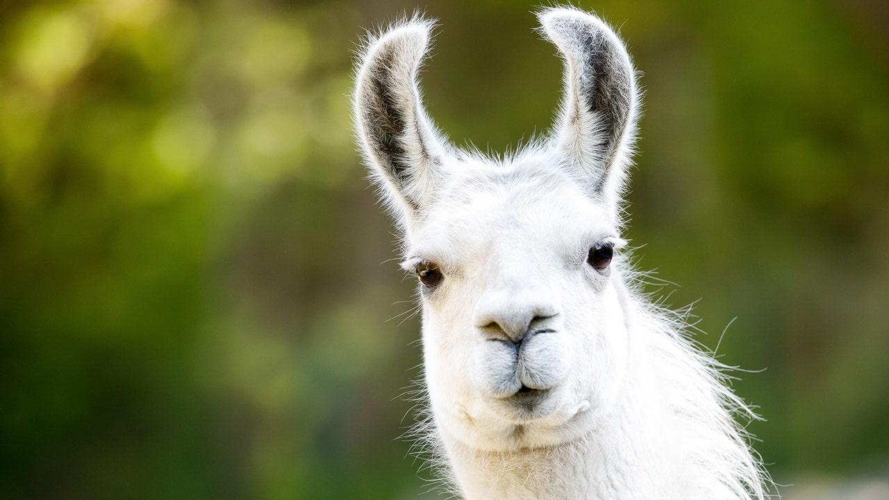 Burglars stop to feed llama while ransacking Welsh farm