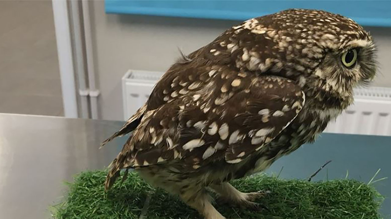 Westlake Legal Group owl 'Extremely obese' owl released back into wild after being put on strict diet fox-news/world/world-regions/united-kingdom fox-news/world fox-news/great-outdoors fox news fnc/great-outdoors fnc Brie Stimson article 1aa311d3-0304-5190-9305-53d1a4a0f835