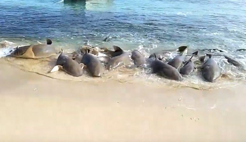 Sharks do 'pipi' dance in shallow water, video reveals