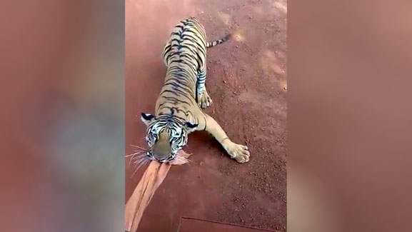 Footage shows tigers chasing tour bus full of safari goers thumbnail