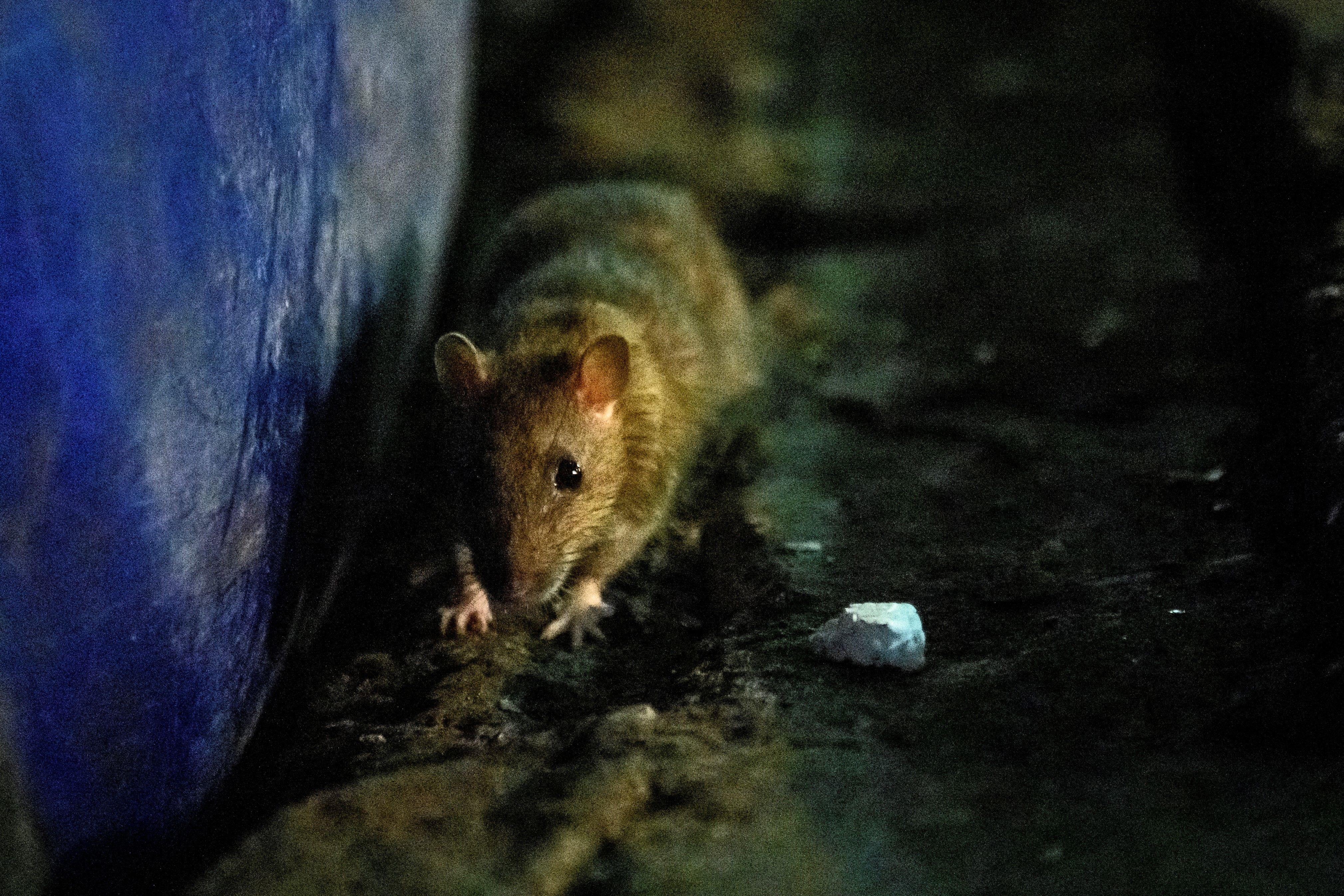 CDC warns of starving, aggressive rats amid COVID-19 garbage shortage