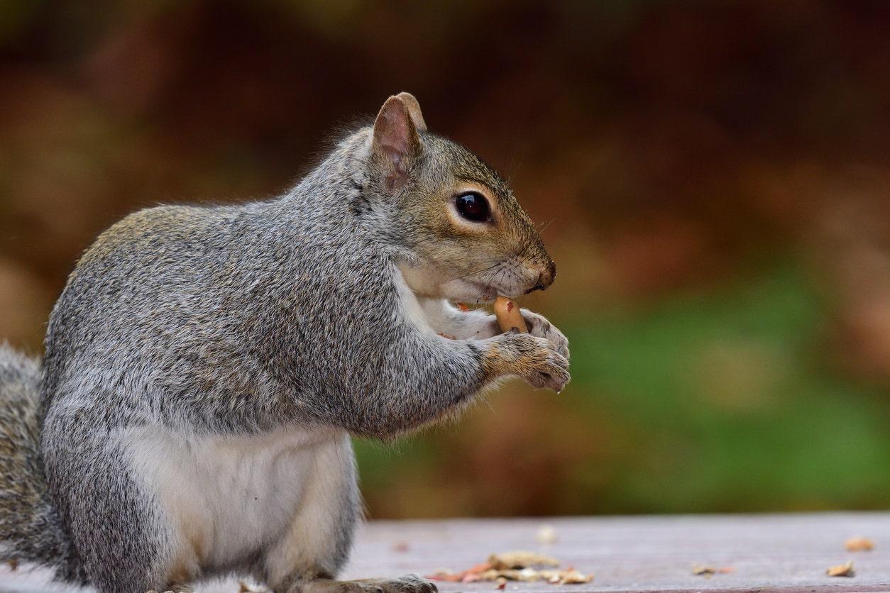 Ο άνθρωπος είναι το μικρό τραπέζι πικ-νικ για τους σκίουρους πηγαίνει ιογενή, ωθεί τους ανθρώπους σε καραντίνα για να δημιουργήσουν το δικό τους