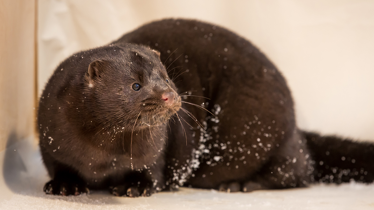 Oregon mink farm confirms presence of coronavirus