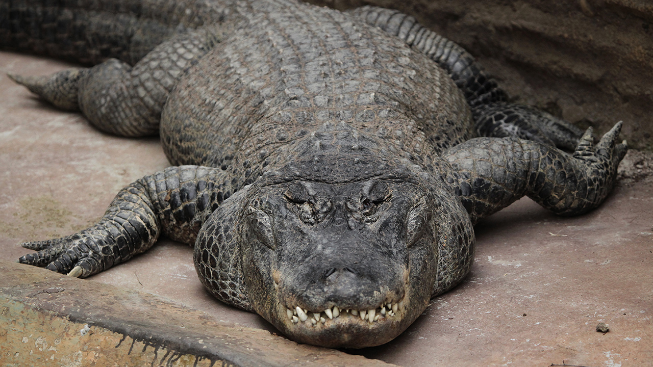Alligator rumored to have been Hitler's, survived WWII bombing in Berlin, dies in Moscow Zoo at 84