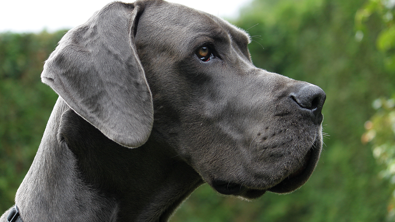 Westlake Legal Group GreatDaneIstock World's tallest dog, at 7-foot-4, is now the oldest living Great Dane New York Post fox-news/lifestyle fox-news/entertainment/genres/pets fnc/lifestyle fnc article 81df83f2-90c7-5ac5-a991-492b4caa3011