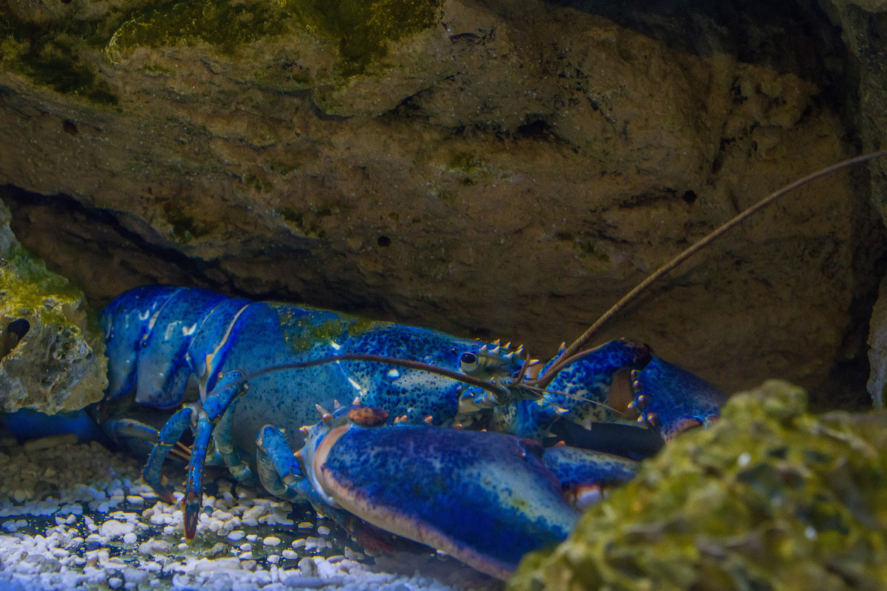 Image of article 'Massachusetts fisherman, 13, catches rare blue lobster: 'I was confused and excited'