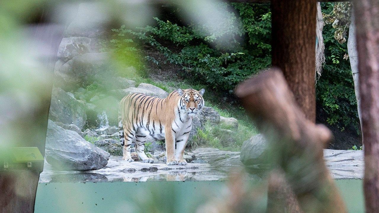 Hổ Siberia giết chết người quản lý vườn thú Thụy Sĩ trong bao vây khi du khách xem