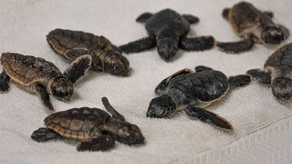 40 sea turtles transported to Florida for treatment as number of 'cold stunned' turtles surges
