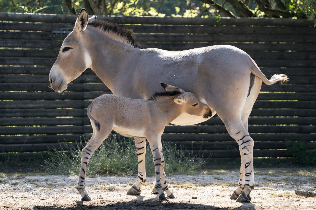 The foal was born at Marwell Zoo near Winchester in Hampshire, England, British news agency SWNS reports. It is considered