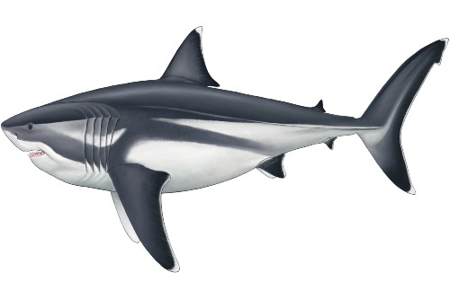 Megalodon discovery: Scientists reveal giant shark's astonishing true scale – Fox News