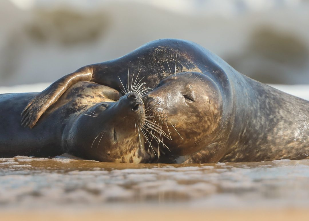 Seals spotted having 'tender' moment on beach in scene reminiscent of 'From Here To Eternity'