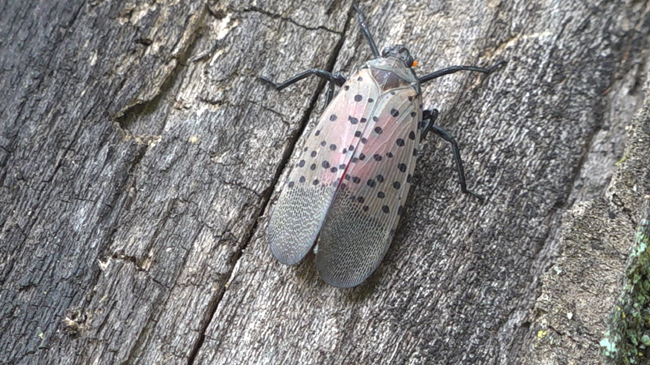 Spotted lanternflies threatening apple orchards in Pennsylvania