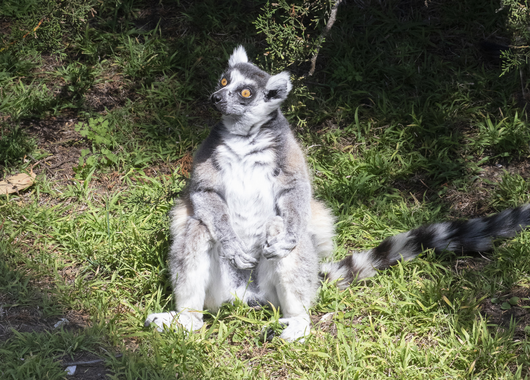 Lemur stolen from San Francisco zoo found police have suspect – Fox News