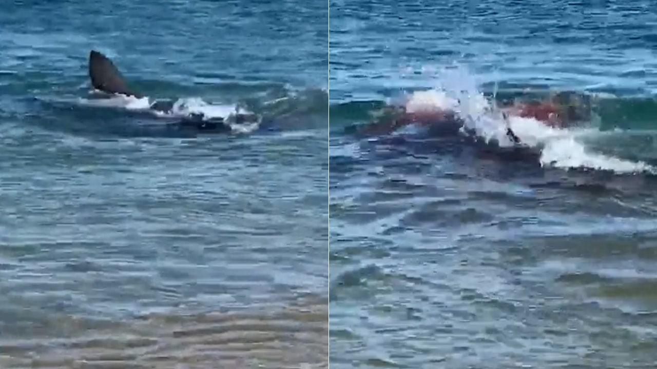 Great white shark devours seal, turns water bloody off Massachusetts beach - Fox News