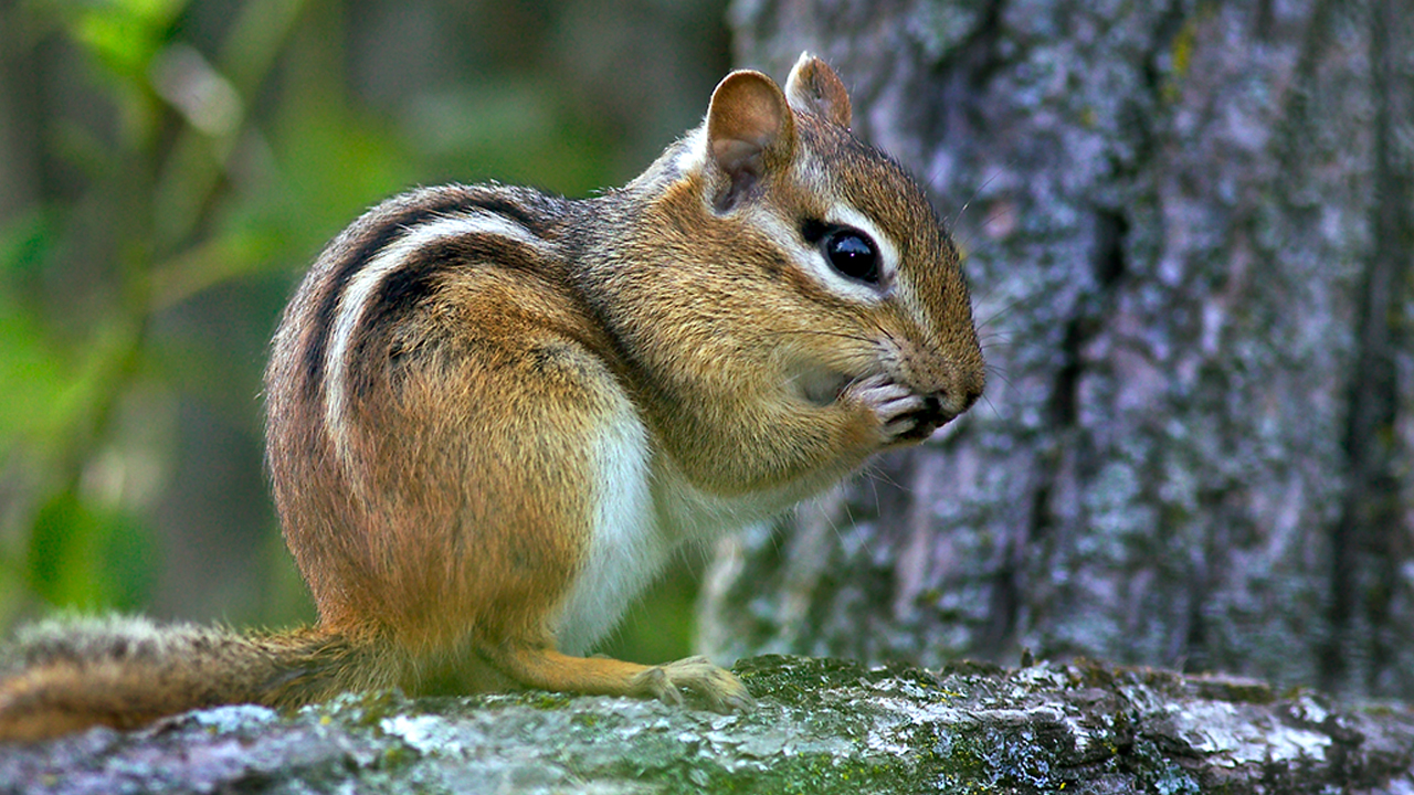 Chipmunks in California test positive for plague, parts of Lake Tahoe closed