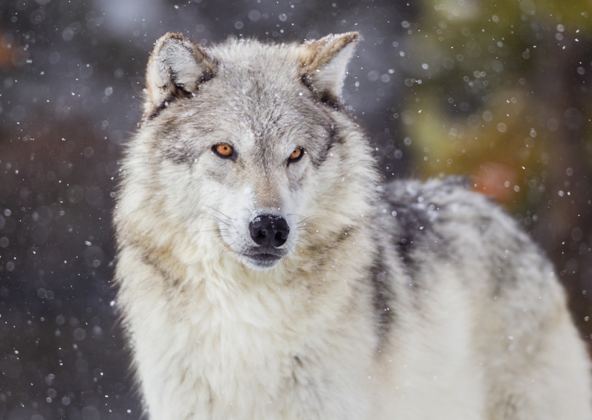 Wisconsin wolf hunt ends early after 82 wolves harvested in less than two days