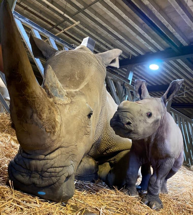 Endangered white rhino recently born has become a 'mischievous character'