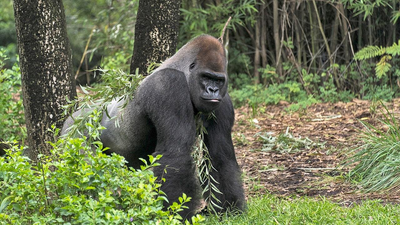 Atlanta zoo treating 13 gorillas for COVID-19