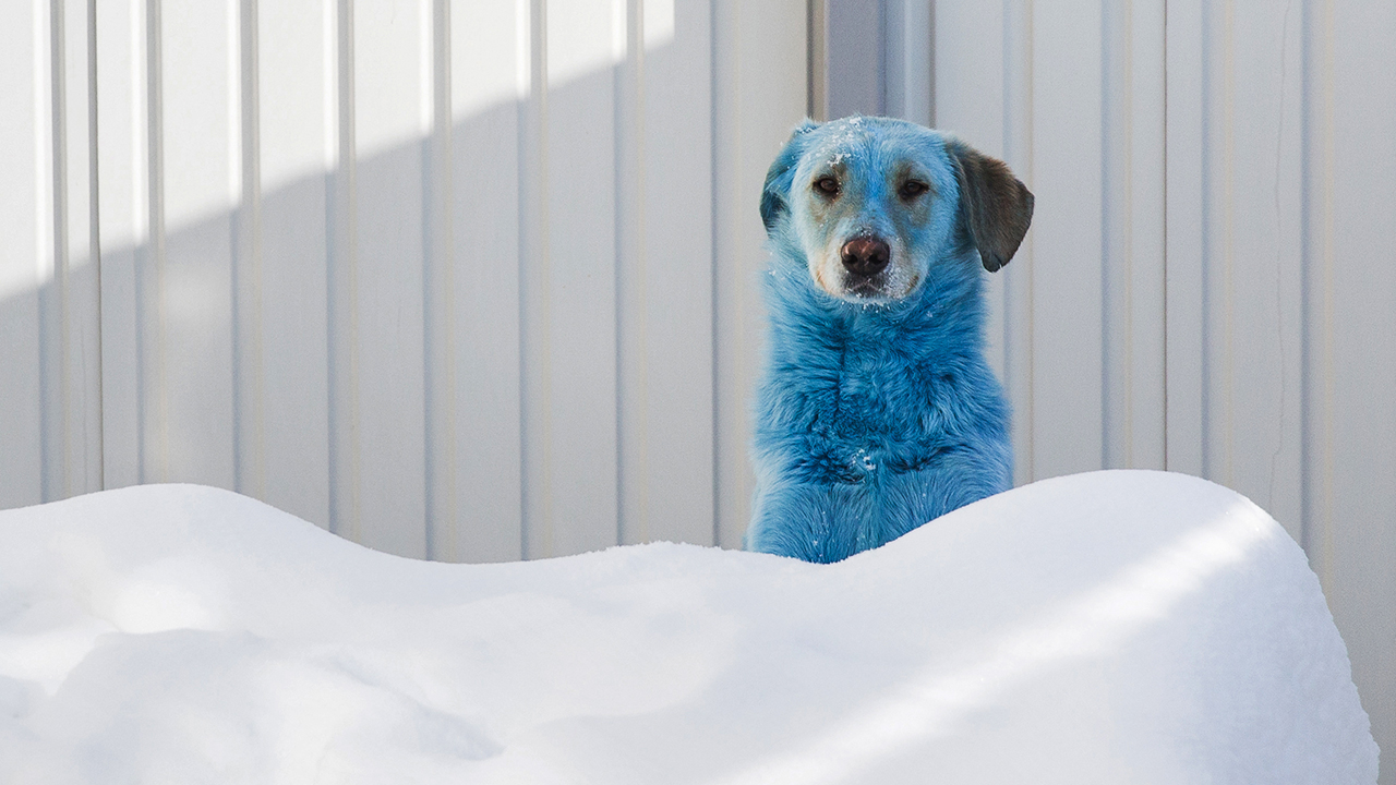 Dogs are mysteriously turning blue and pink in Russian city