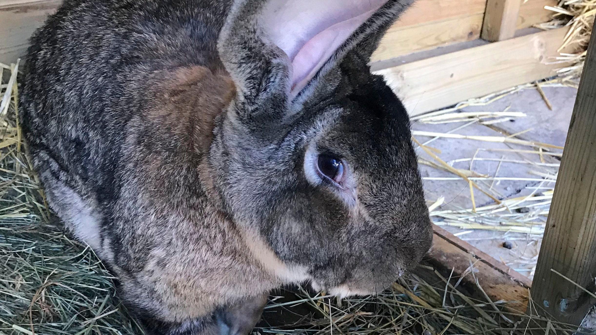 World's longest bunny stolen from former Playboy model: police - Fox News