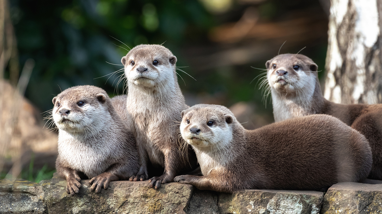 Otters test positive for COVID-19, Georgia Aquarium says
