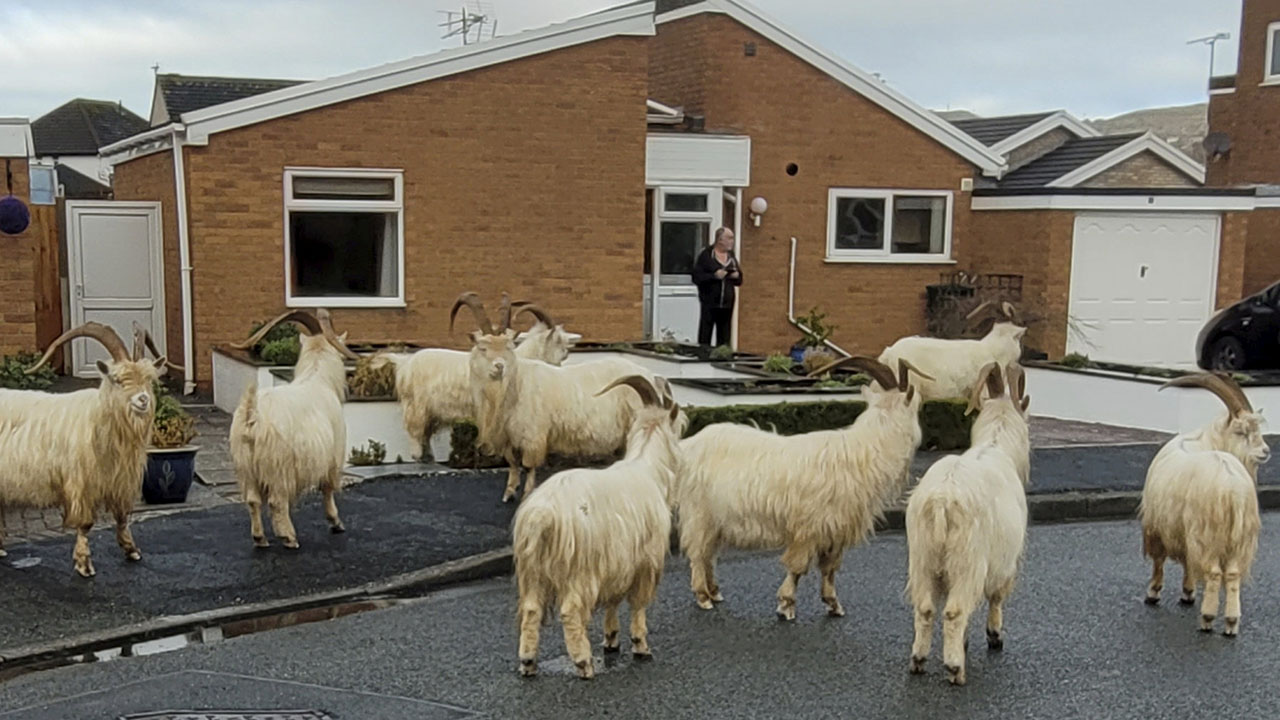 North Wales town taken over by large herd of goats