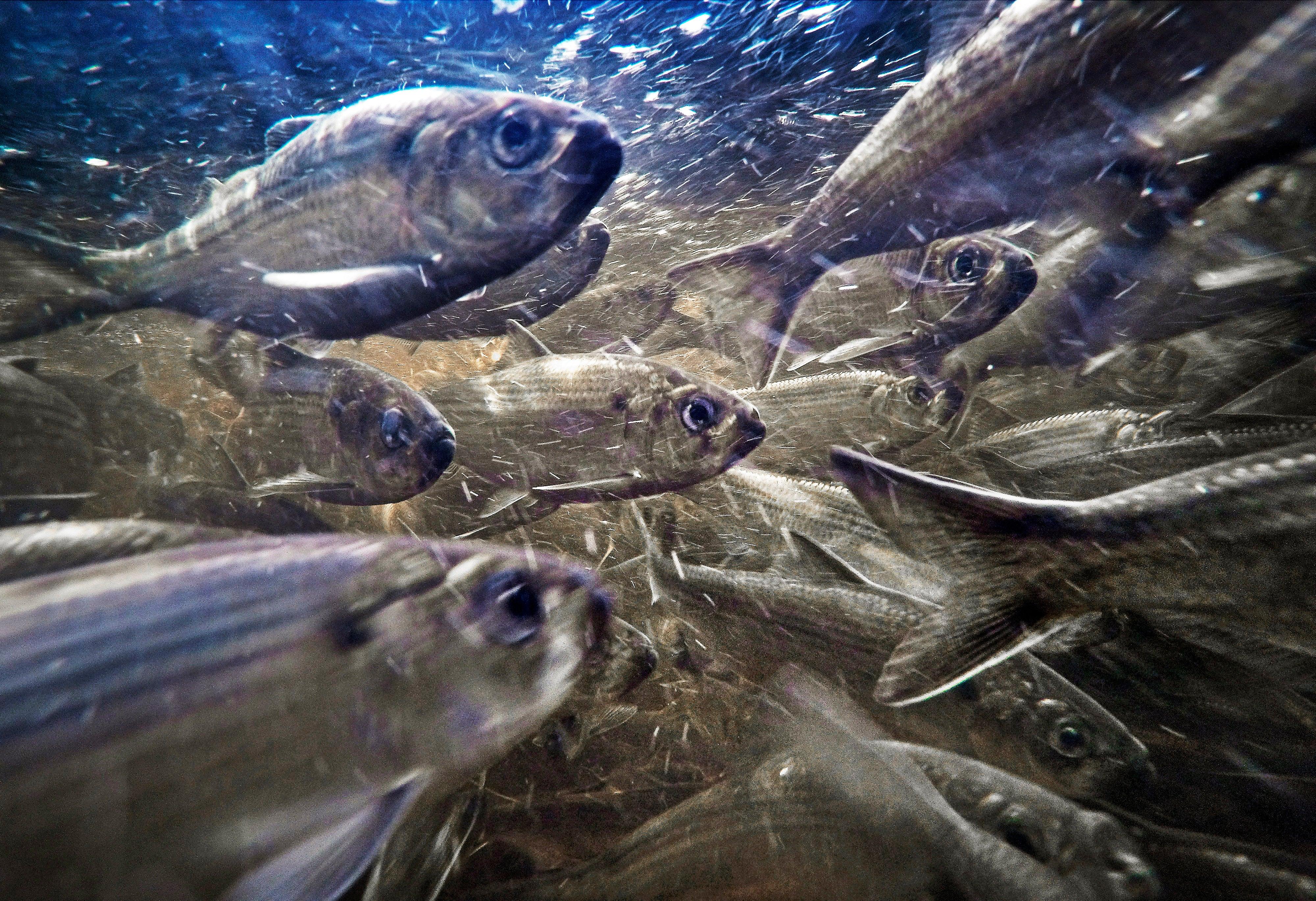 East Coast's at-risk river herring see inhabitants progress