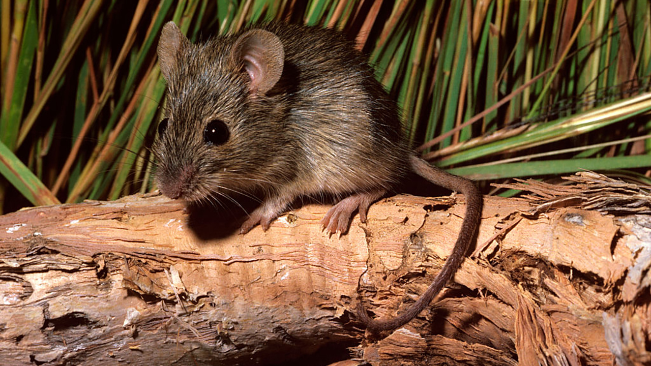 Mice in Australia seen 'raining' from sky in viral video