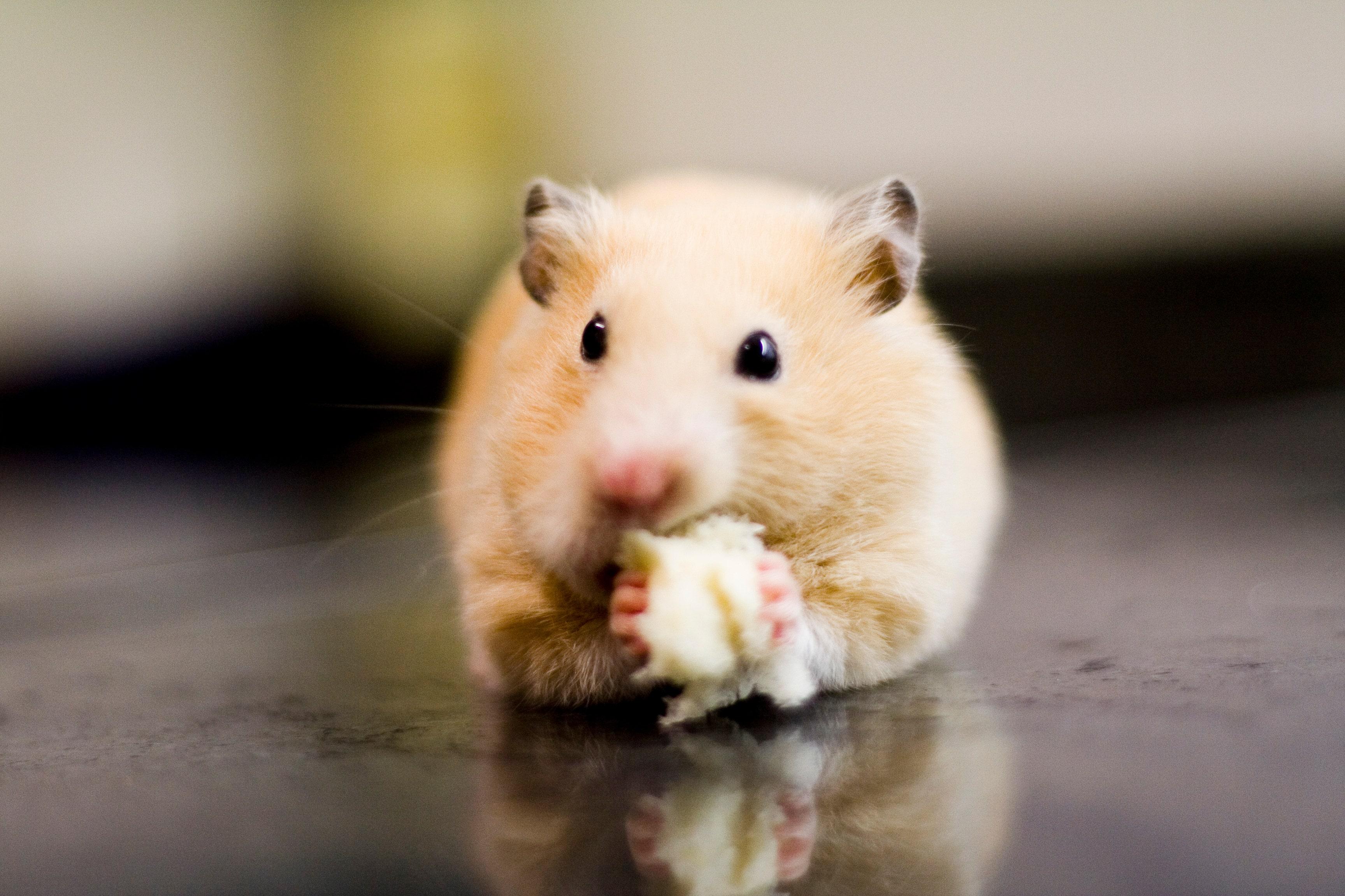 Inhaled nanobodies effective against coronavirus in hamsters, researchers say