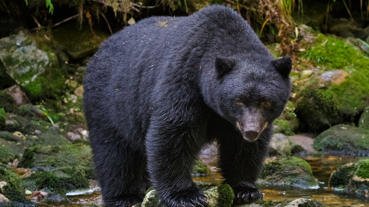 Colorado woman found dead near home from apparent bear attack wildlife officials say – Fox News