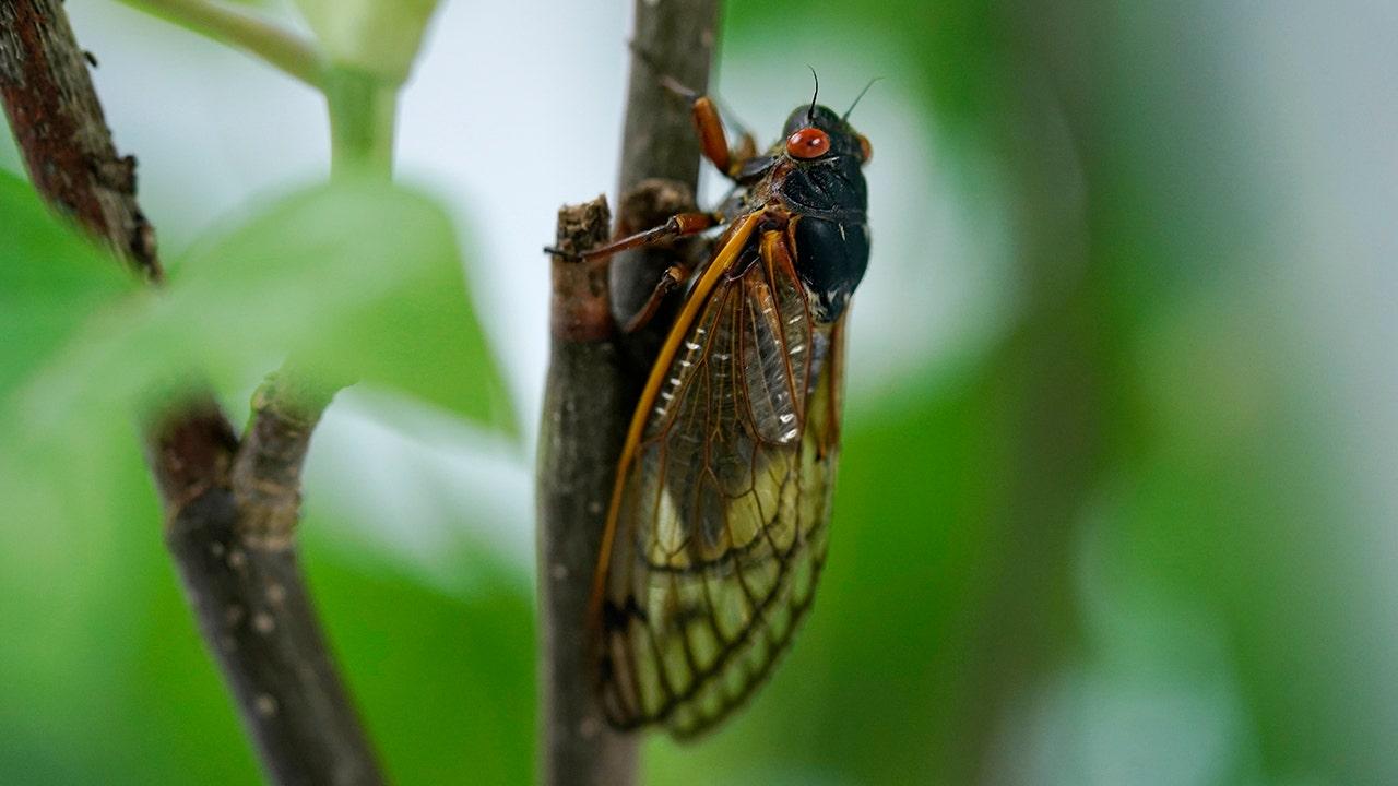 Brood X cicadas interfere with cars, planes, weather radar