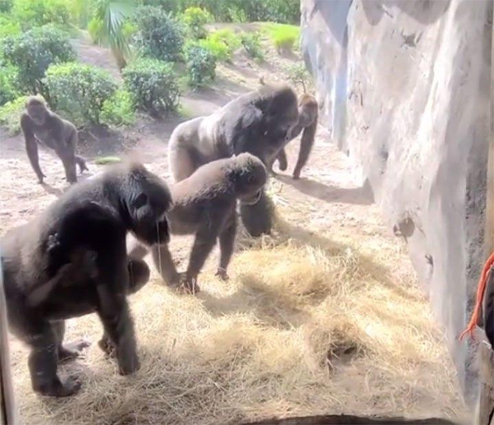 Gorillas find snake in Disney World's Animal Kingdom exhibit in viral video