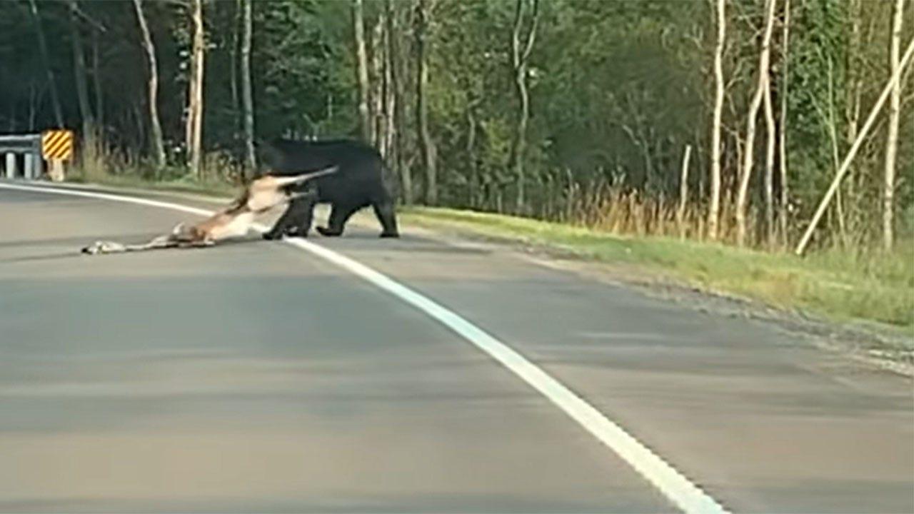 Firefighter films bear dragging deer across road in Pennsylvania national forest