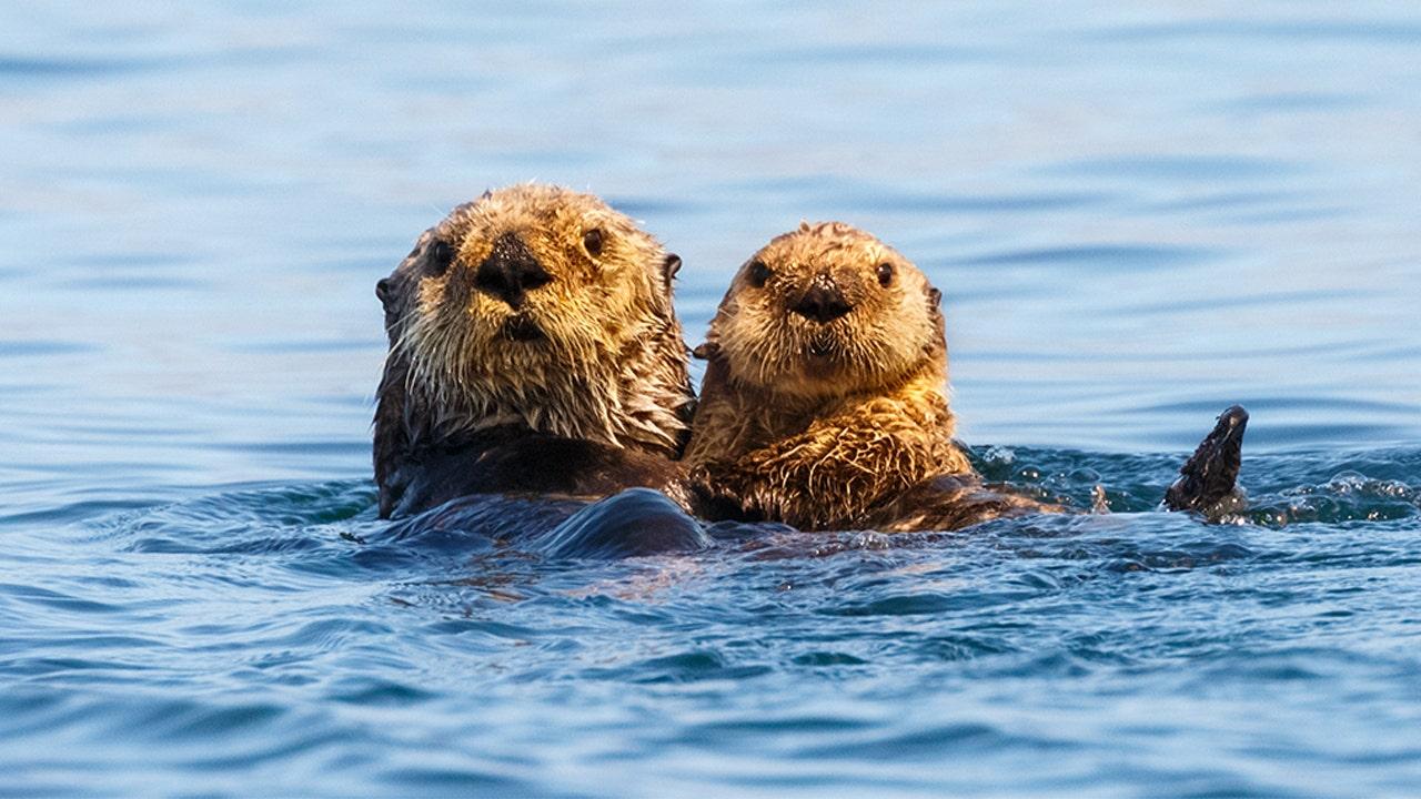 California aquarium, agencies work to develop sea otter tracker