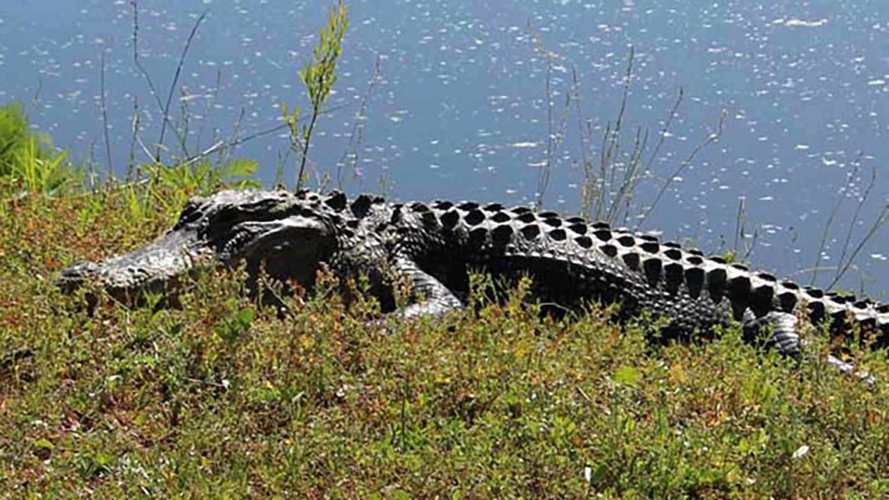 South Carolina alligator attack on woman ends after neighbor whacks creature with shovel
