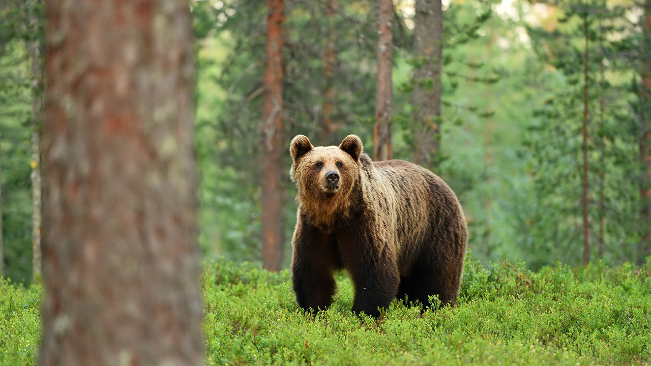 Nevada bear hunt faces calls to be canceled due to wildfires