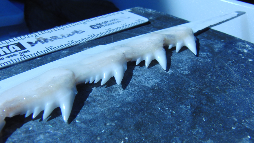 Cornell researchers show off shark tooth saw